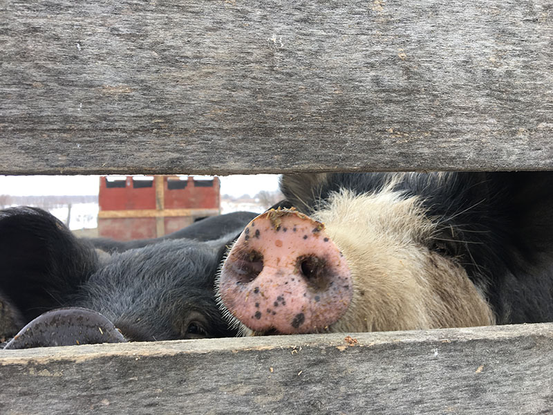 Pigs being nosy